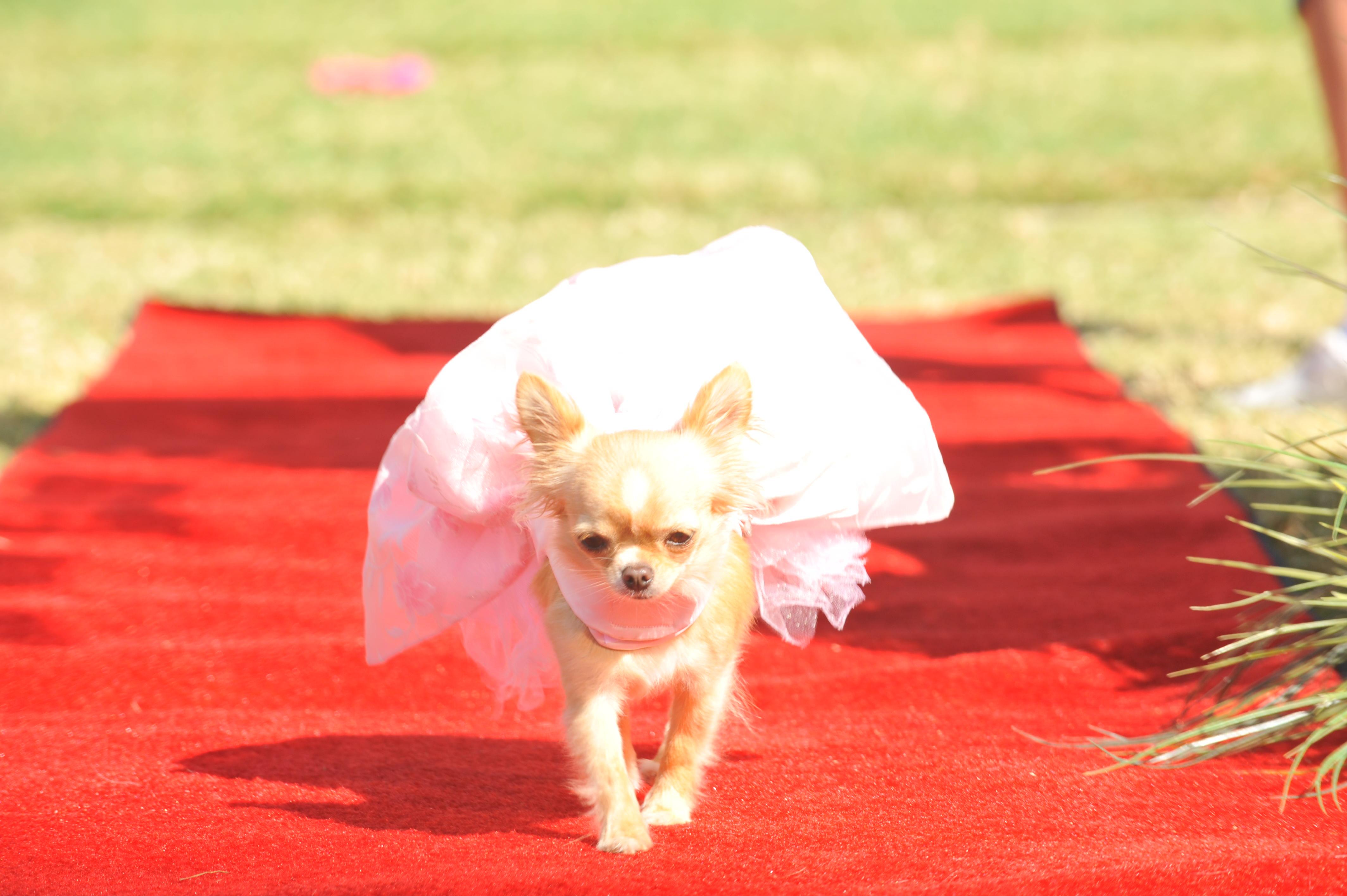 Beverly Hills Chihuaha less desea un Feliz Cinco de mayo!!!!!